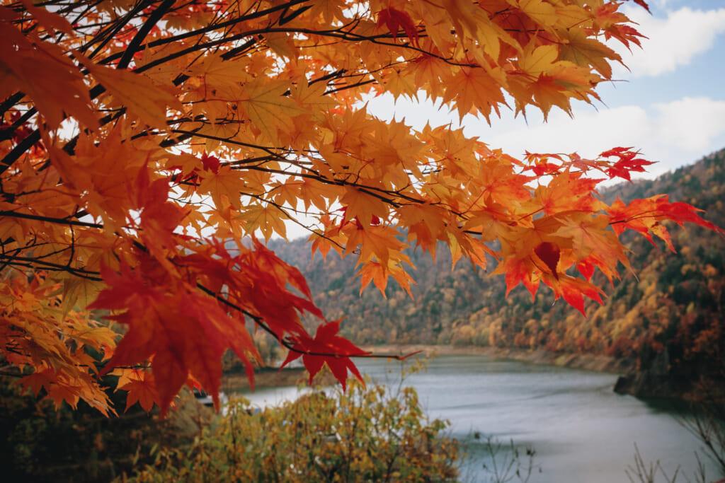 érable japonais durant l'automne