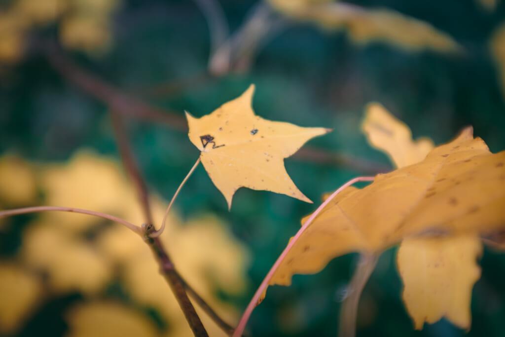 Feuille d'érable japonais durant l'automne