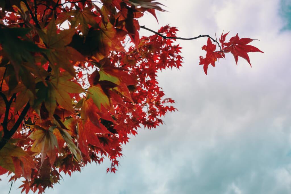 Feuilles momiji rouges durant l'automne japonais