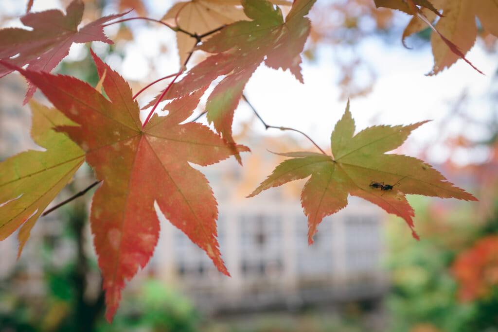 feuilles d'érables japonais prenant des teintes d'automne
