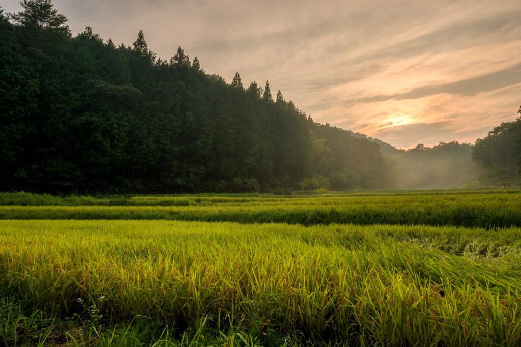 Rizière au coucher de soleil dans les environs de Joge, dans la préfecture d'Hiroshima