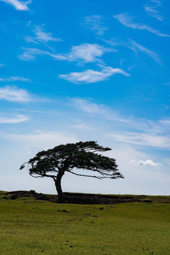 un arbre perdu dans une prairie sur une île japonaise