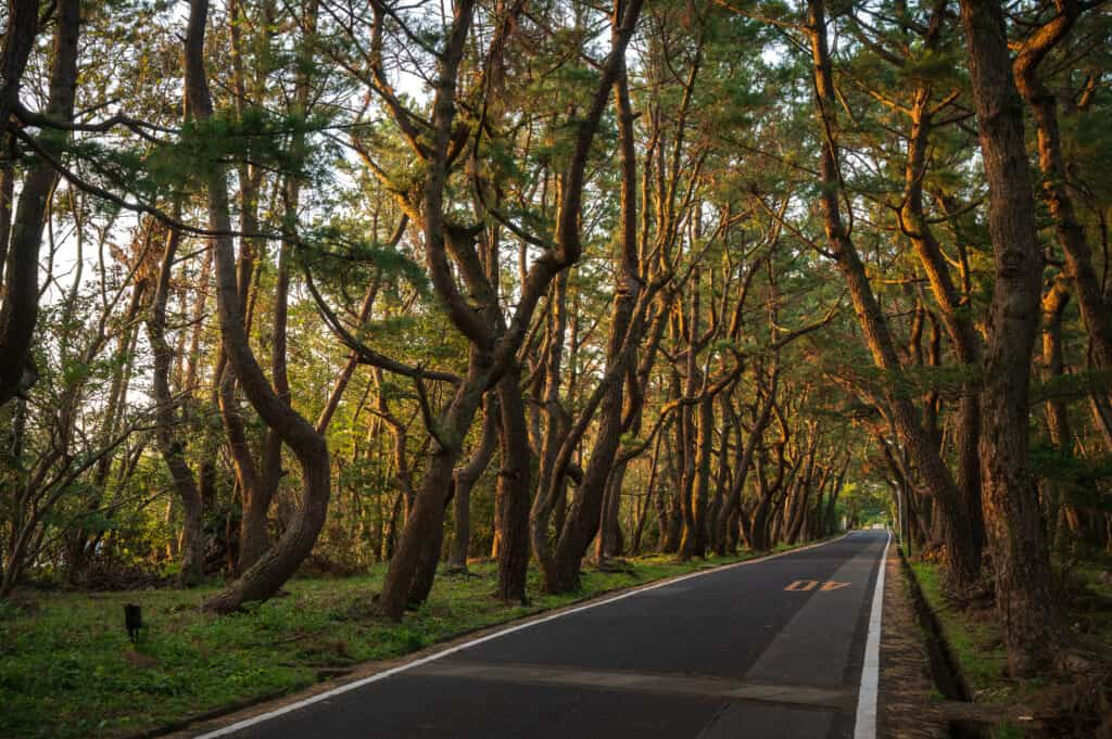 Lever de soleil sur des pins japonais à Ojika