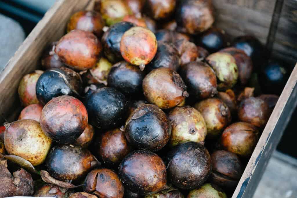 Fruit de tsubaki camélia