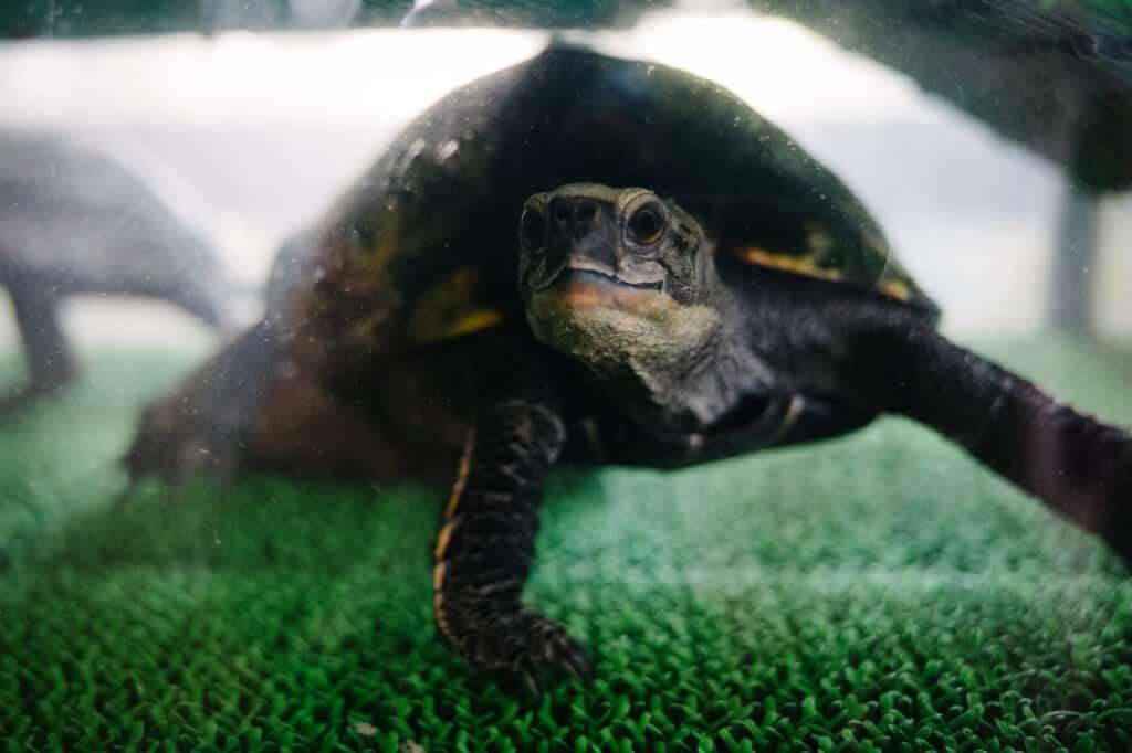 Une tortue dans un aquarium au centre d'Abunze