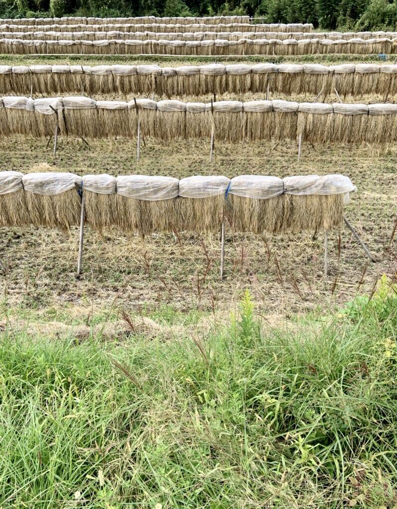 Récolte de riz dans une vallée rurale au Japon
