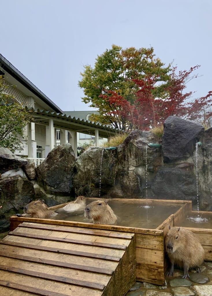 capybaras entrain de se détendre dans un bain onsen dans la préfecture de Tochigi