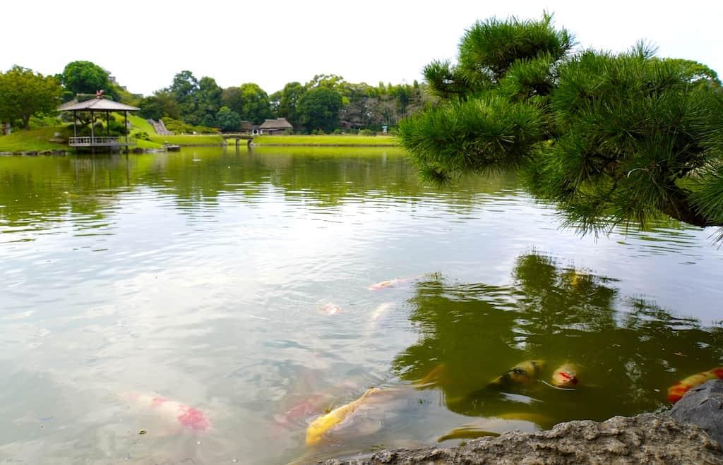 Carpes dans l'étang