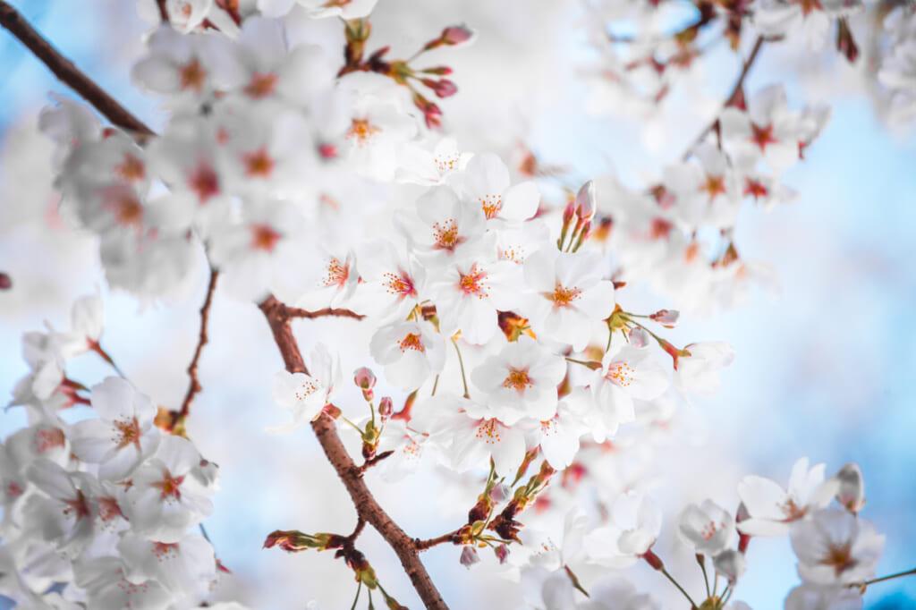sakura, les fleurs immaculées de blanc