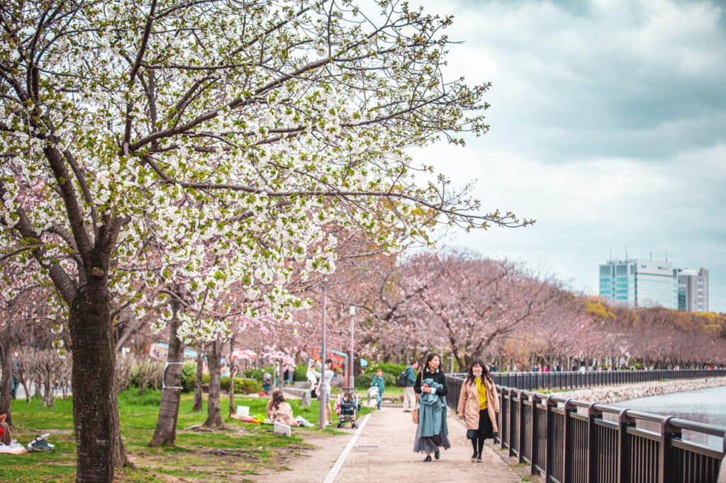 Rangée de cerisiers en fleurs dispersés le long des douves entourant le château d'Osaka