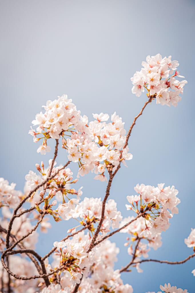 La pureté des fleurs de cerisiers