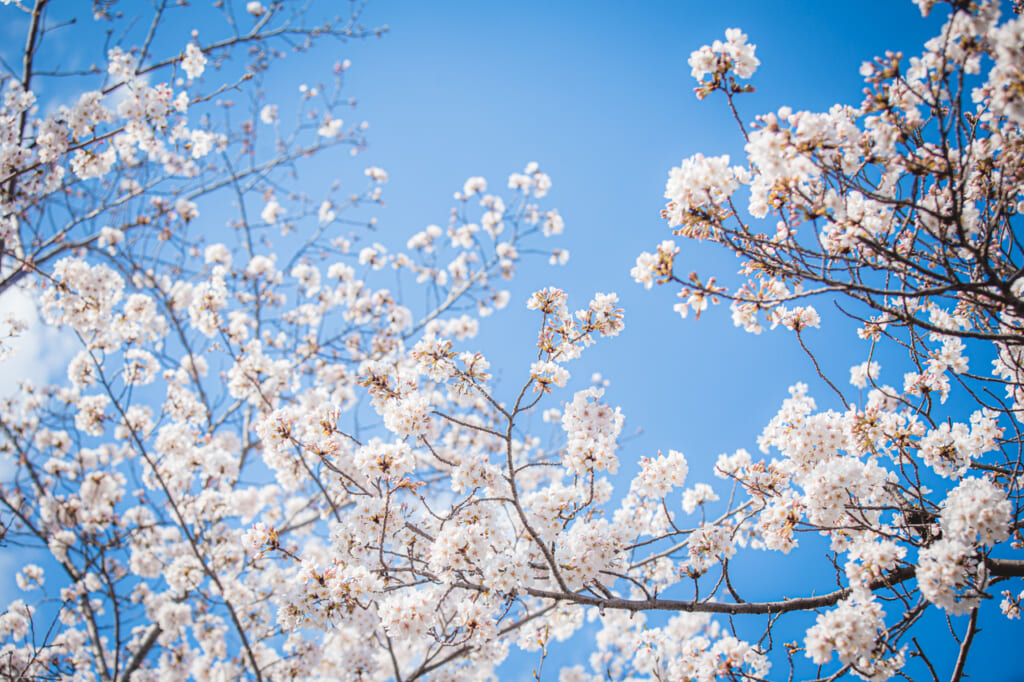 Les sakura, un spectacle de couleurs