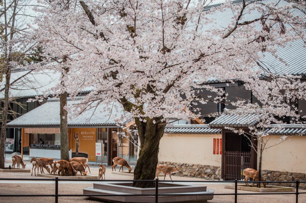 Des dizaines de cerfs perdus au milieu des sakura