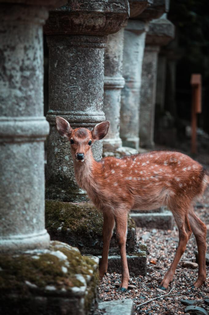 Vous croiserez surement plusieurs cerfs sur votre chemin à Nara