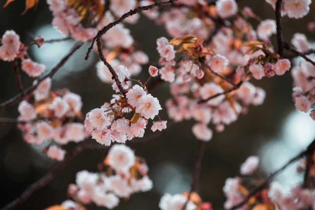 sakura, les fleurs aux allures magiques du Japon