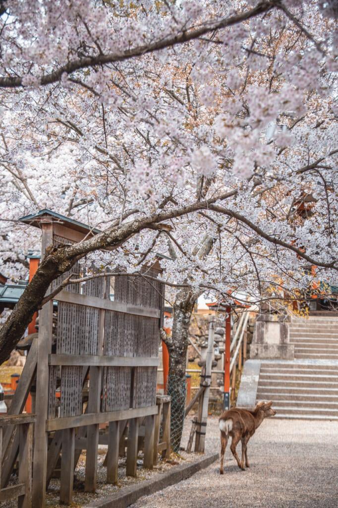 Sanctuaire Himuro et ses sakura