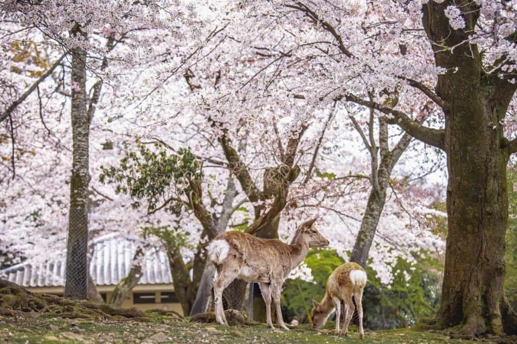 Une mère shika et son petit à Nara avec un ciel de sakura