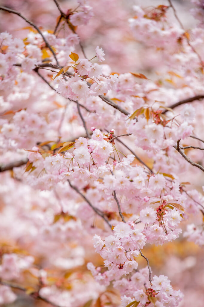 Au printemps, Chayama-enchi mérite une visite