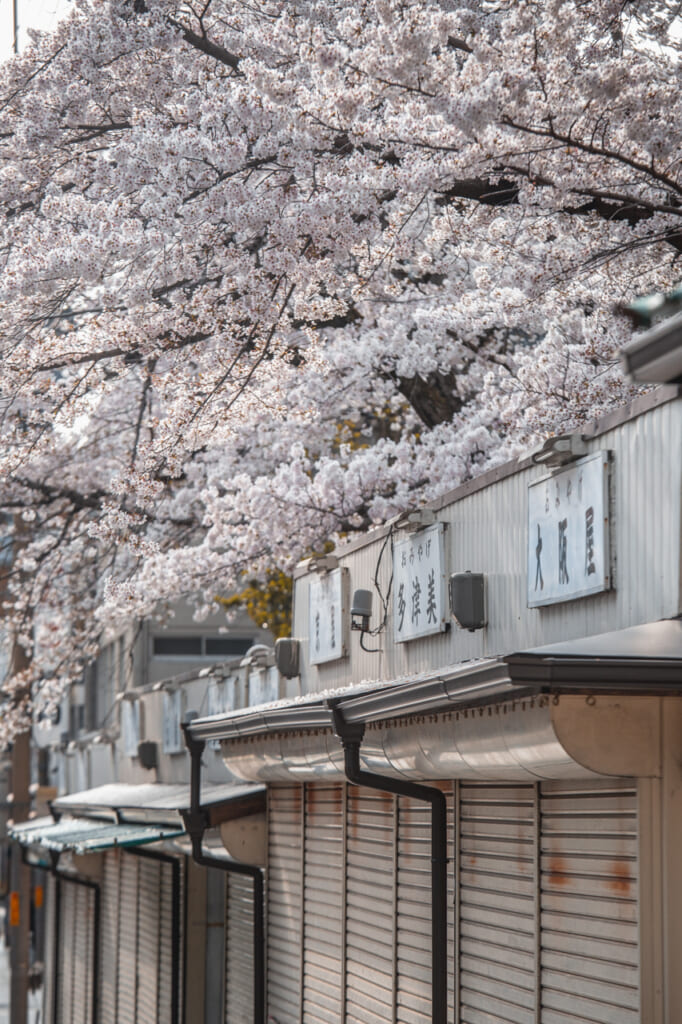 La rue Sanjo-dori et ses sakura recouvrant les boutiques locales