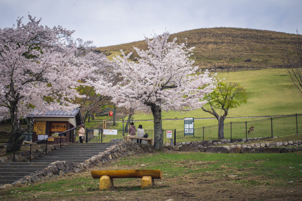 Au printemps, le Mont Wakakusa est rempli de sakura