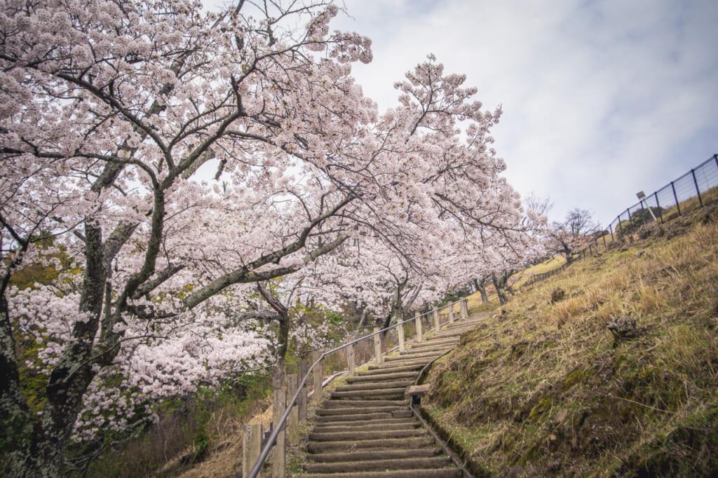 Les sakura sont un très bon objectif pour une randonnée