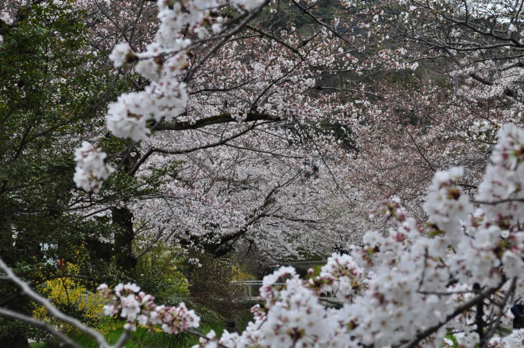 au paradis des sakura, kyoto, chemin du philosophe