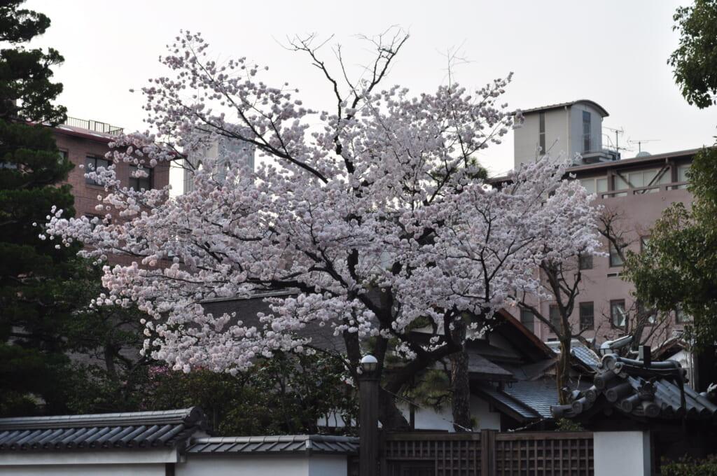 palais impérial de Kyoto et ses arbres bordés de rose