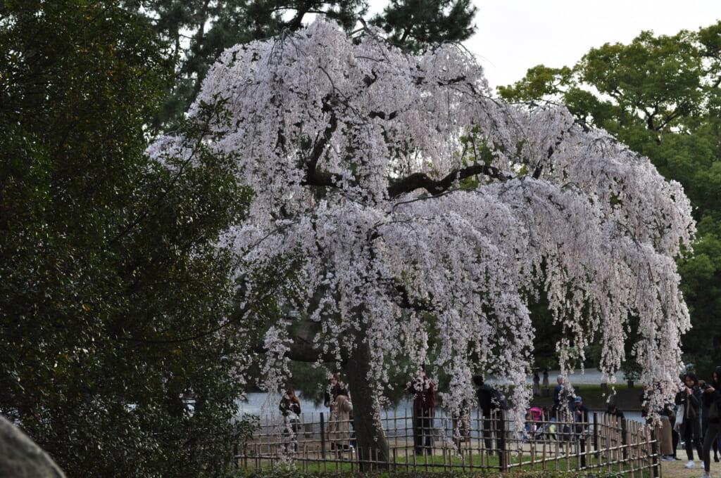 Grand cerisier en fleurs du palais impérial de Kyoto