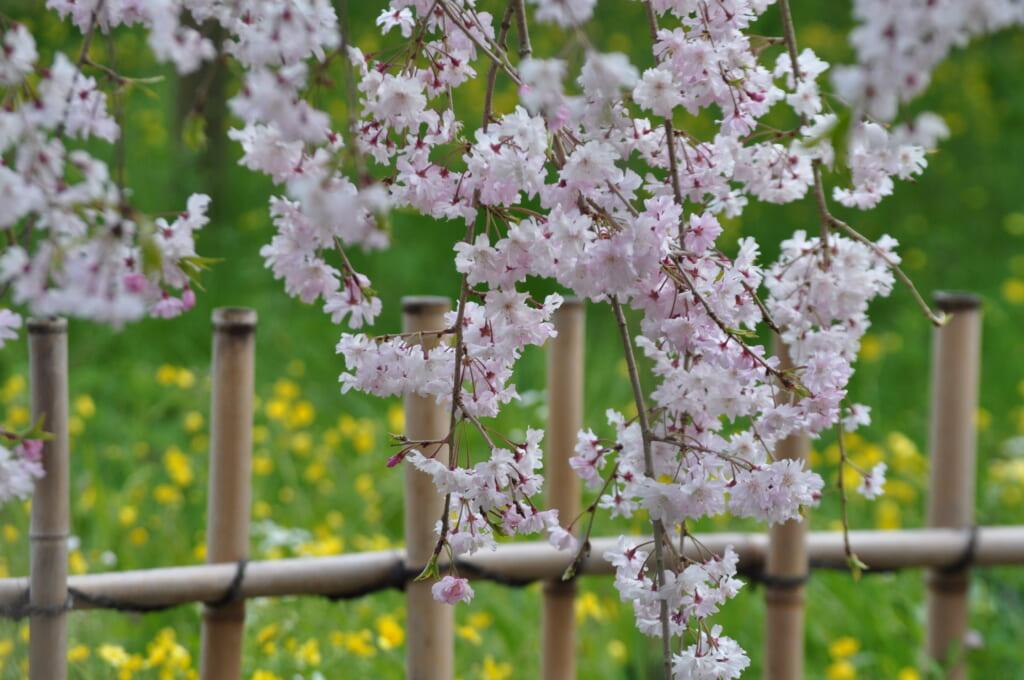 Les sakura du palais impérial de Kyoto et leurs 1001 couleurs
