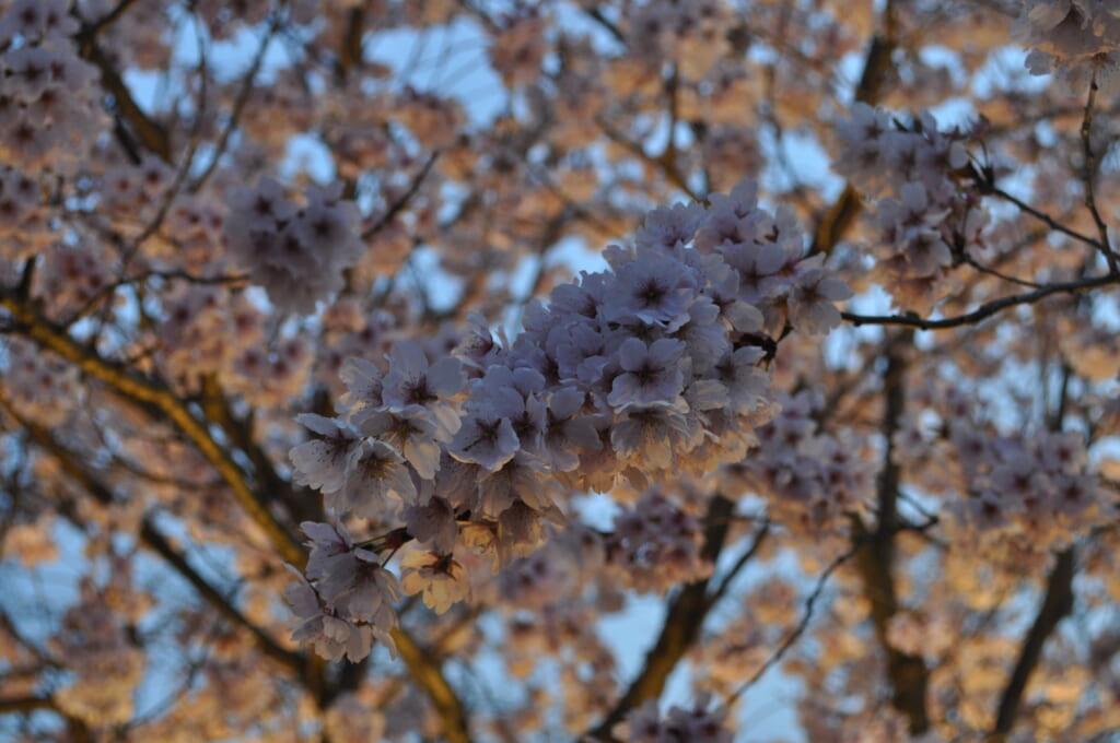 Même au début de la nuit, les sakura sont les vedettes