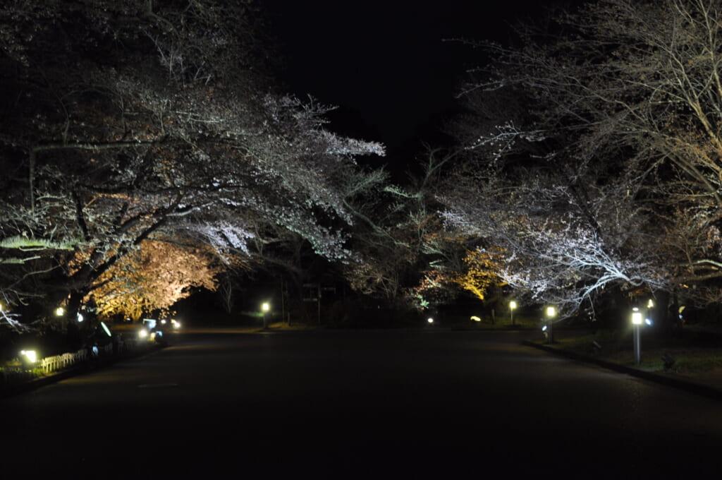 jardin botanique de kyoto et ses sakura en pleine nuit