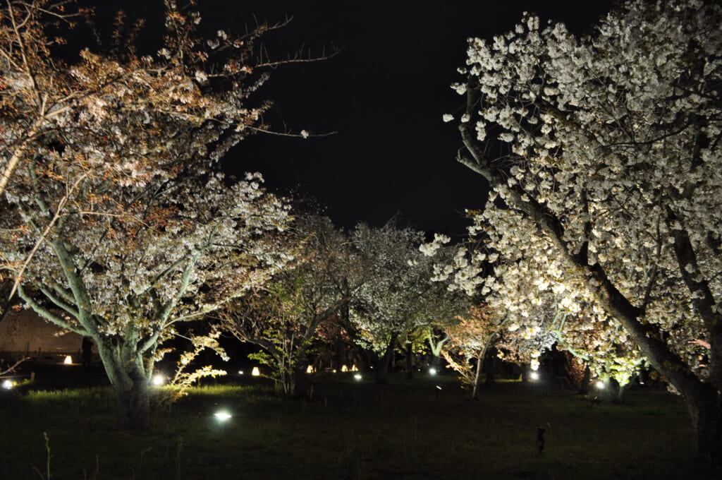 Allée de sakura sous les projecteurs au jardin botanique de Kyoto