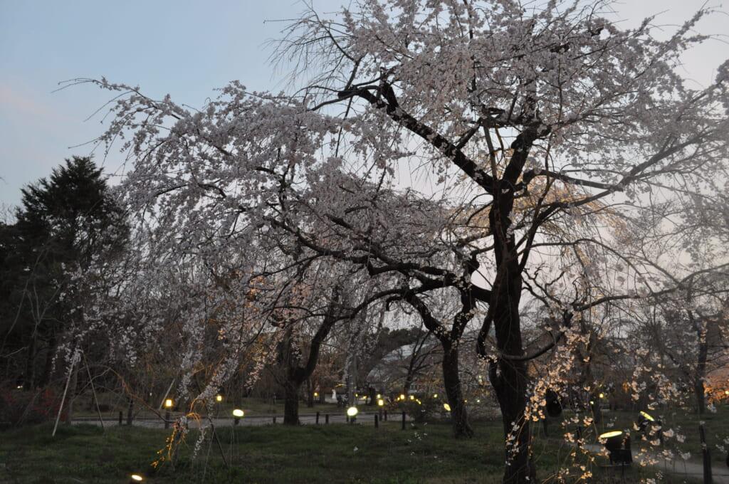 A la tombée de la nuit, les sakura du jardin botanique de Kyoto ne sont pas en reste