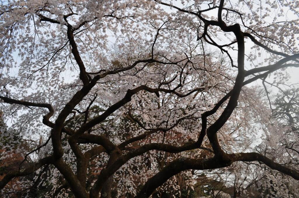 Au temple Toji, le grand sakura mesure plus de 12 mètres de haut
