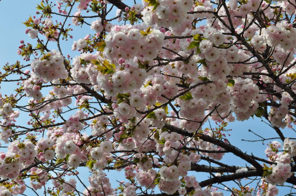 Au Shinsen-en, les sakura se fraient un chemin parmi la notoriété du dragon