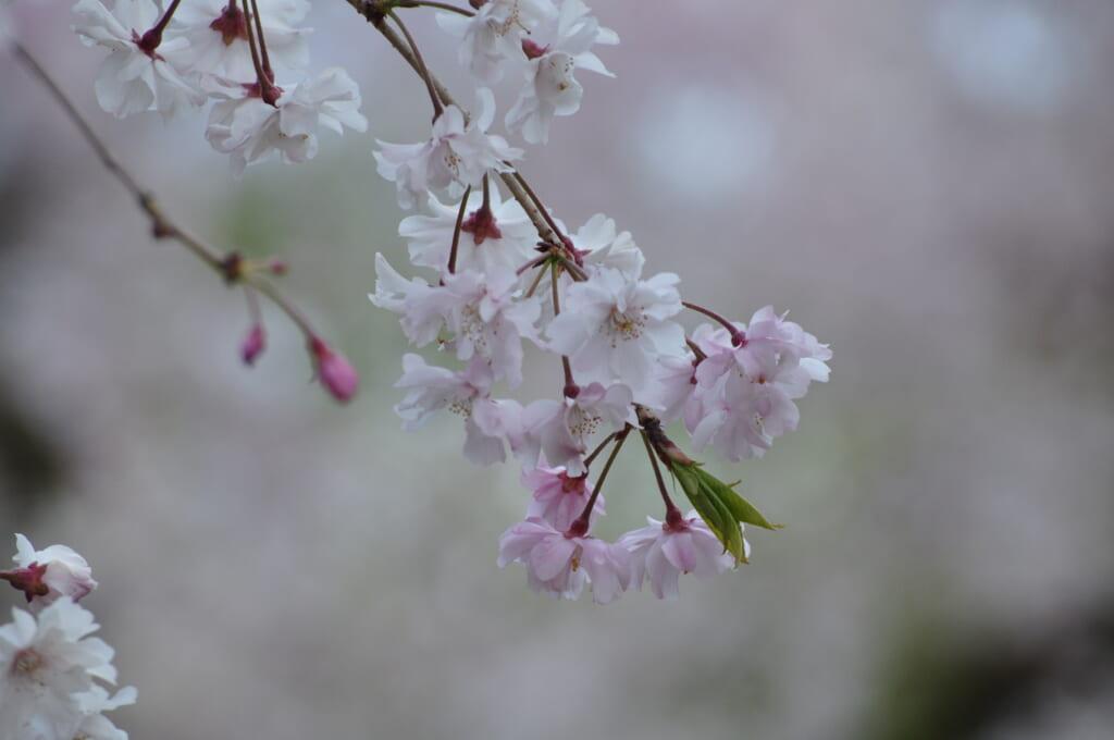 Le Shinsen-en n'est pas en reste, de magnifiques sakura y ont élu domicile
