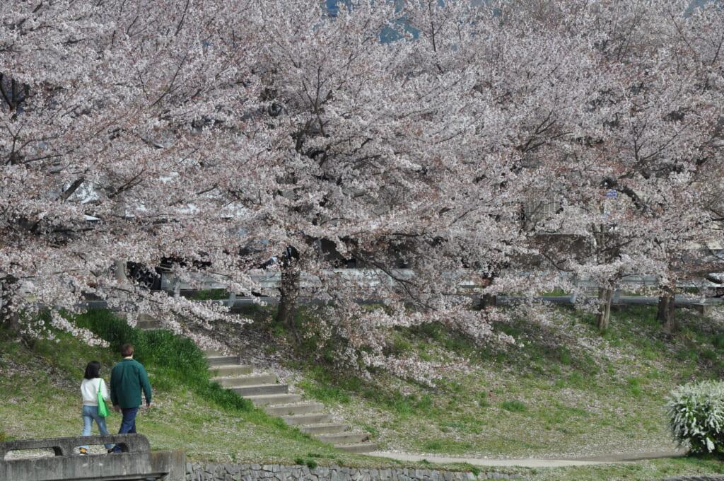 La rivière Kamo et ses cerisiers. On dirait presque de la neige !