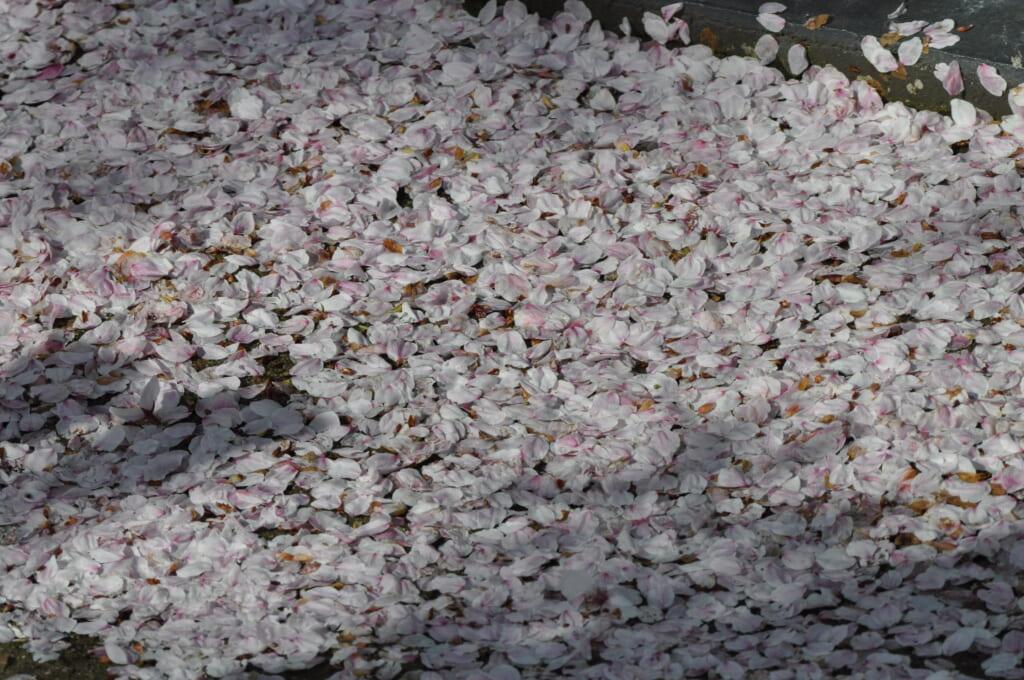 Tapis de pétales de cerisiers près de la rivière Kamo