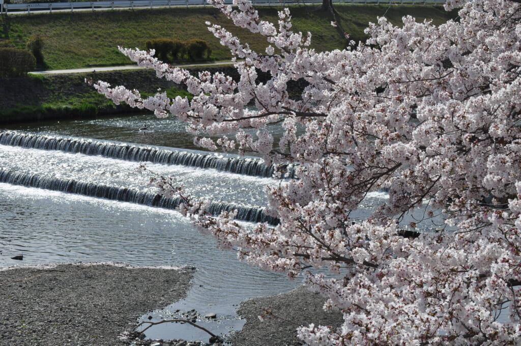 Les sakura bordent la Kamo à l'arrivée du printemps