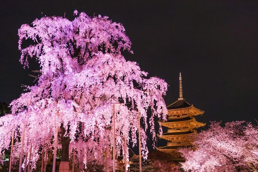 Le Temple Toji et ses sakura sous les projecteurs