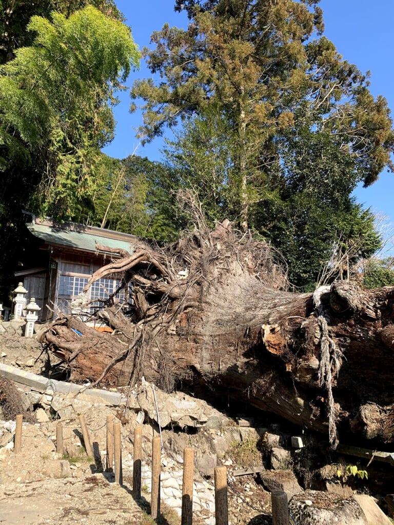 Grand cèdre millénaire tombé à Okute Japon