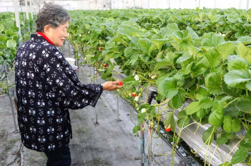 Cueillette de fraises sur les îles de Setouchi