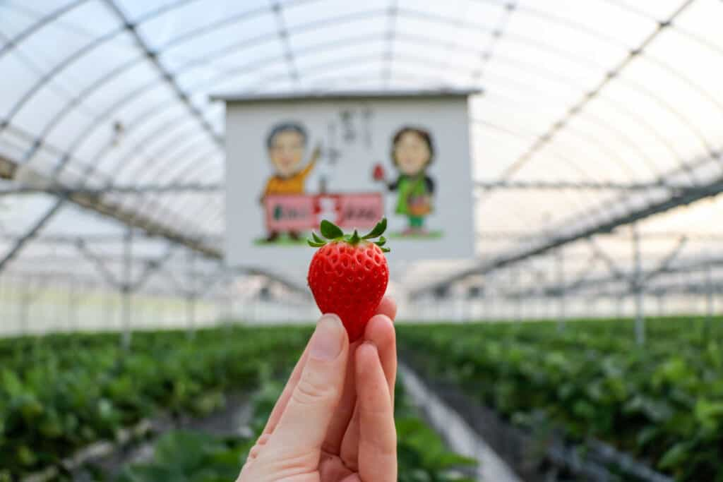 Une fraise cultivée dans une ferme traditionnelle japonaise le long de la shimanami kaido