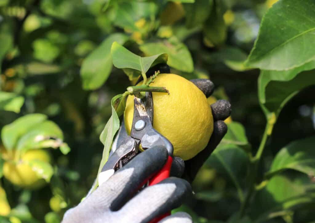 cueillette de citrons dans une ferme japonaise sur les îles de setouchi