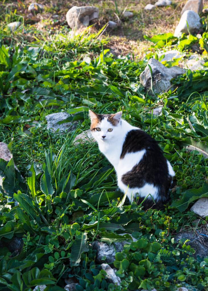 Chat noir et blanc sur un sentier de montagne des îles Goto