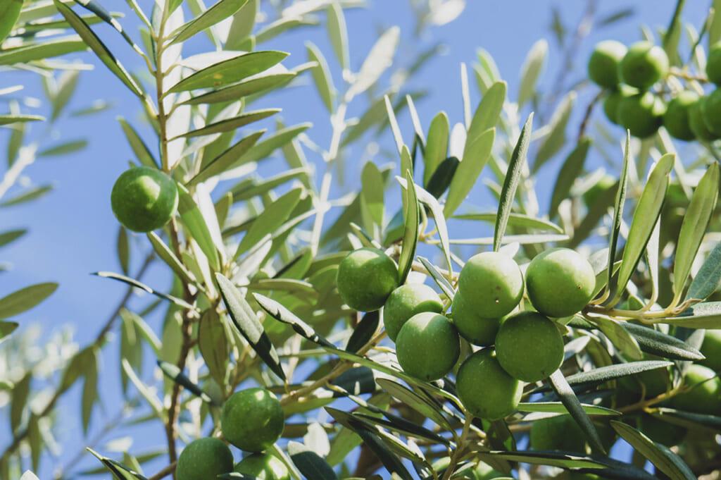 Gros plan sur des olives de Shodoshima