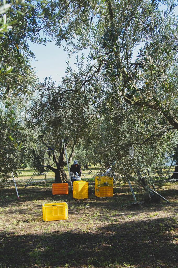 Producteurs d'olives au travail dans une oliveraie de Shodoshima