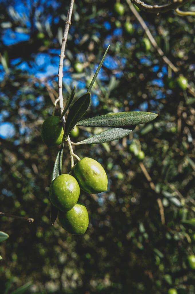 Gros plan sur des olives au Shodoshima Olive Park