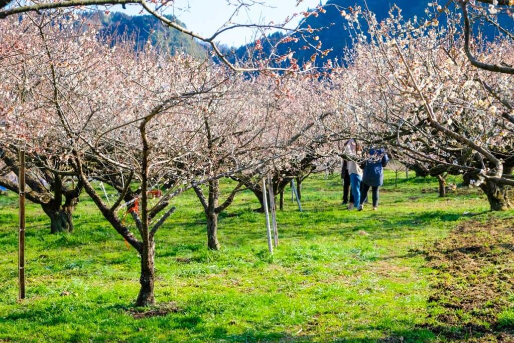 Les abricotiers de Oita