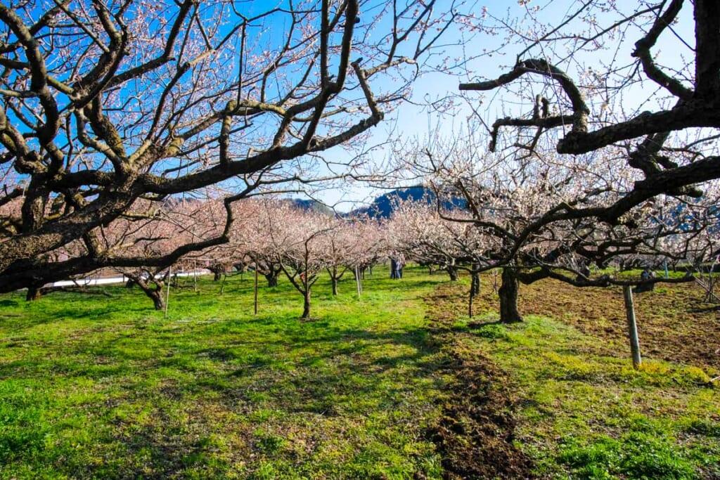 Les abricotiers de Oita, de quoi rendre jaloux les cerisiers et pruniers